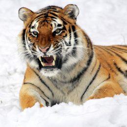 tiger-585855_1920